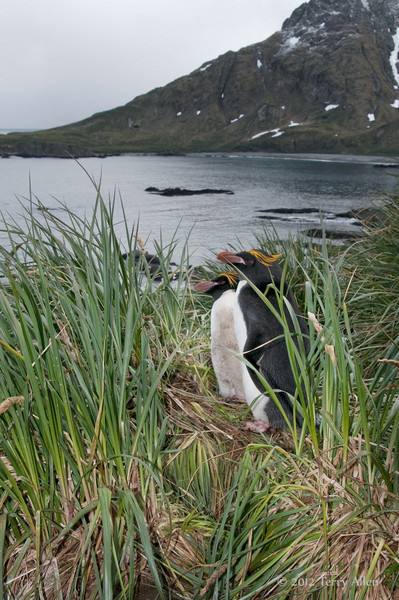 Macaroni-penguin-pair-2,-Cooper-Island,-South-Georgia-Island