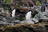 Macaroni-penguins-on-rocks,-Cooper-Island,-South-Georgia-Island