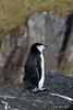 Chinstrap-penguin-3,-Cooper-Island,-South-Georgia-Island
