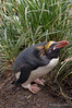 Macaroni-penguin-5,-Cooper-Island,-South-Georgia-Island