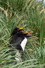 Macaroni-penguin-pair-1,-Cooper-Island,-South-Georgia-Island