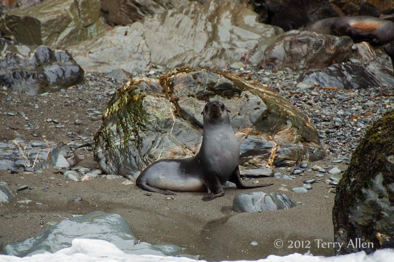 Young-fur-seal,-Eisehul-Bay,-South-Georgia-Island