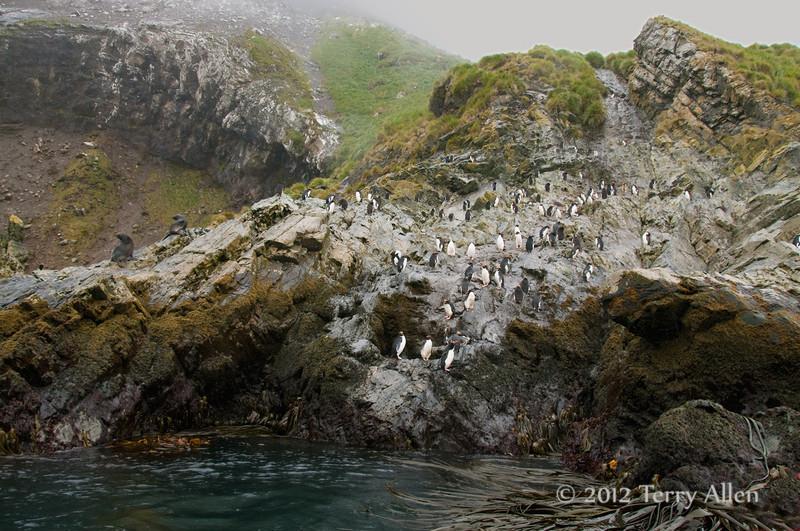 Macaroni-penguins,-Eisehul-Bay,-South-Georgia-Island