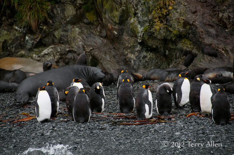 King-penguins-&-fur-seals,-Eisehul-Bay,-South-Georgia-Island