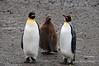 'Baby' penguin