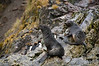 Fur-seals-&-macaroni-penguins,-Eisehul-Bay,-South-Georgia-Island