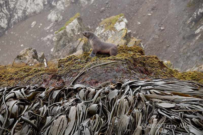 Bull-kelp- &-fur-seal,-Eisehul-Bay,-South-Georgia-Island