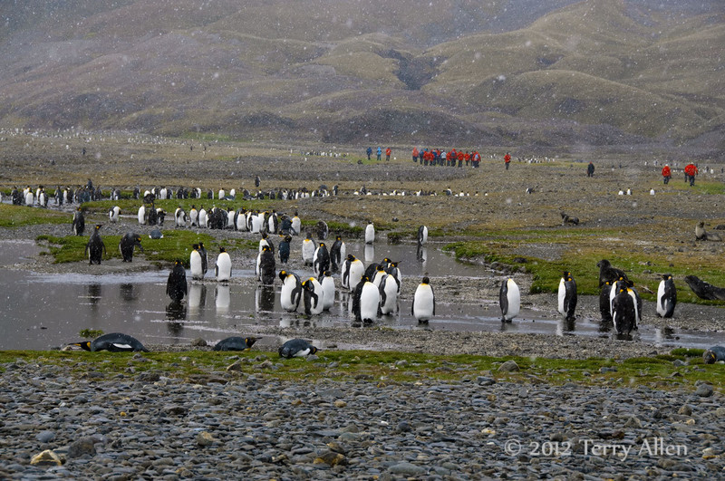 King-penguins-in-stream-1,-Fortuna-Bay,-South-Georgia-Island