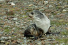Young-fur-seal,-Fortuna-Bay,-South-Georgia-Island