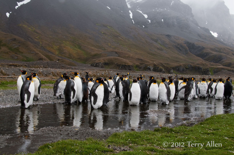 King-penguins-in-stream-4,-Fortuna-Bay,-South-Georgia-Island