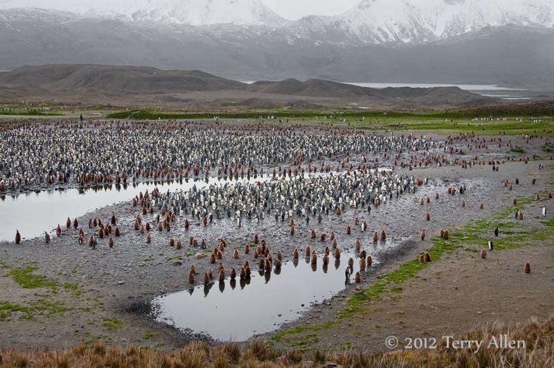 King-penguin-colony-1,-Fortuna-Bay,-South-Georgia-Island