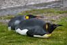 King-penguins-lying-down,-Fortuna-Bay,-South-Georgia-Island