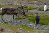 Reindeer-&-king penguins-7,-Fortuna-Bay,-South-Georgia-Island