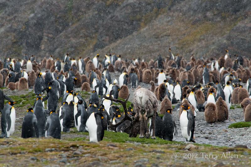 Reindeer-&-king penguins-6,-Fortuna-Bay,-South-Georgia-Island
