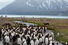 Reindeer-&-king penguins-5,-Fortuna-Bay,-South-Georgia-Island