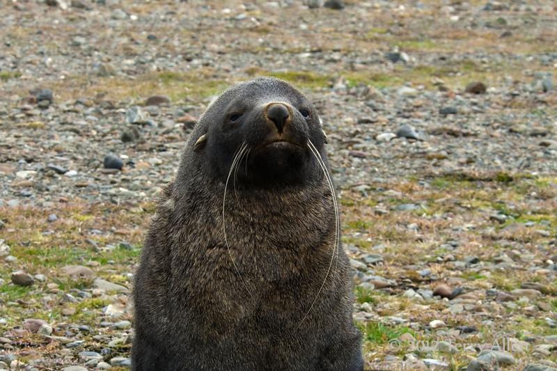 Fur-seal,-Fortuna-Bay,-South-Georgia-Island