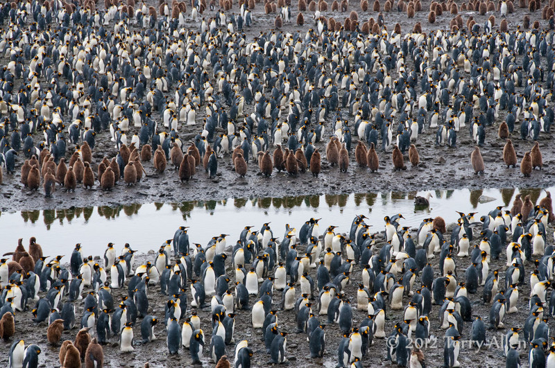 King-penguin-colony-2,-Fortuna-Bay,-South-Georgia-Island