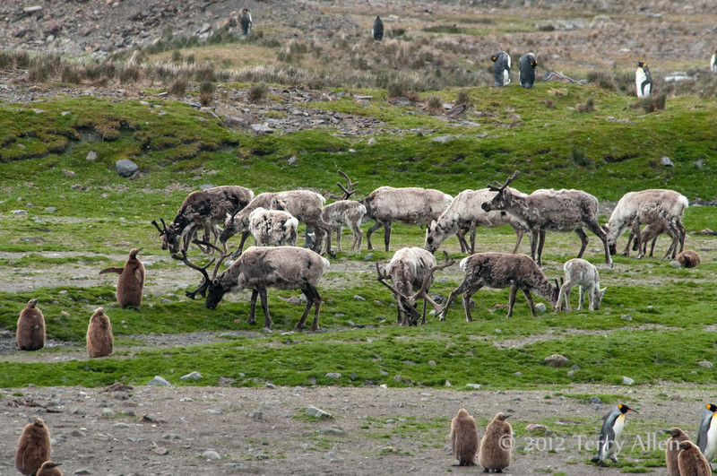Reindeer-&-king-penguins-1,-Fortuna-Bay,-South-Georgia-Island