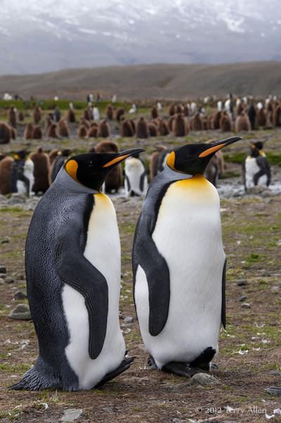 King-penguins-with-lifted-feet,-Fortuna-Bay,-South-Georgia-Island