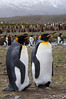 King-penguins-with-lifted-feet,-Fortuna-Bay,-South-Georgia-Island