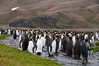 King-penguins-in-stream-2,-Fortuna-Bay,-South-Georgia-Island
