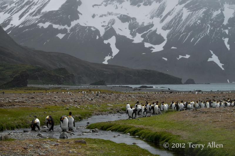 King-penguins-in-stream-5,-Fortuna-Bay,-South-Georgia-Island