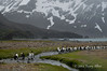 King-penguins-in-stream-5,-Fortuna-Bay,-South-Georgia-Island
