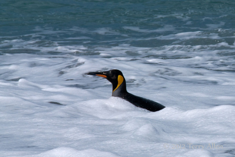 King-penguin-in-surf-4,-Gold Harbour,-South-Georgia-Island
