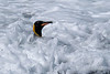 King-penguin-in-surf-7,-Gold Harbour,-South-Georgia-Island