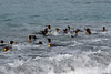 King-penguins-in-surf-1,-Gold Harbour,-South-Georgia-Island