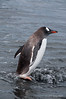 Gentoo-penguin-in-water,-Gold Harbour,-South-Georgia-Island