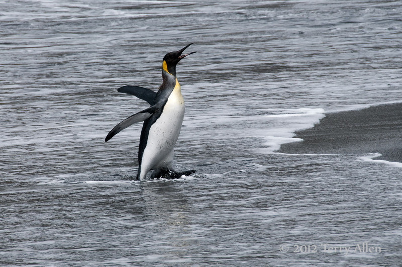 King-penguin-exiting-water-2,-Gold Harbour,-South-Georgia-Island