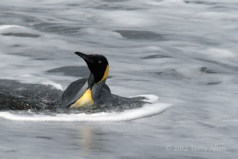 King-penguin-in-surf-2,-Gold Harbour,-South-Georgia-Island