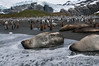 Elephant-seals-&-king-penguins,-Gold Harbour,-South-Georgia-Island