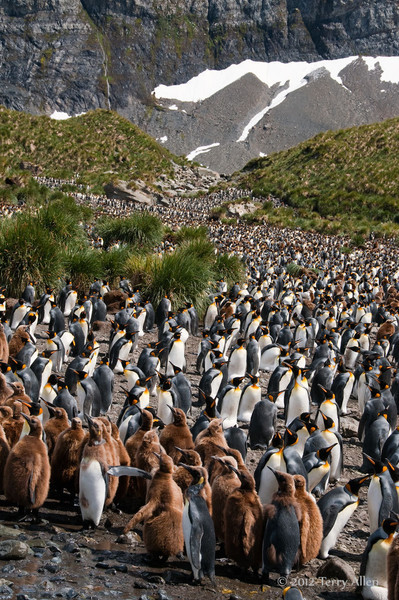 King-penguin-colony-3,-Gold Harbour,-South-Georgia-Island
