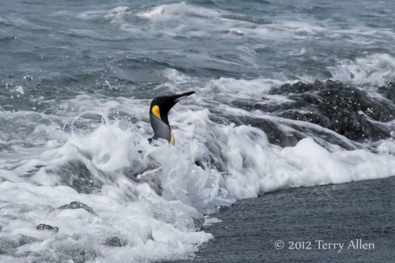 King-penguin-in-surf-1,-Gold Harbour,-South-Georgia-Island