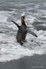 Young-king-penguin-in-surf,-Gold Harbour,-South-Georgia-Island