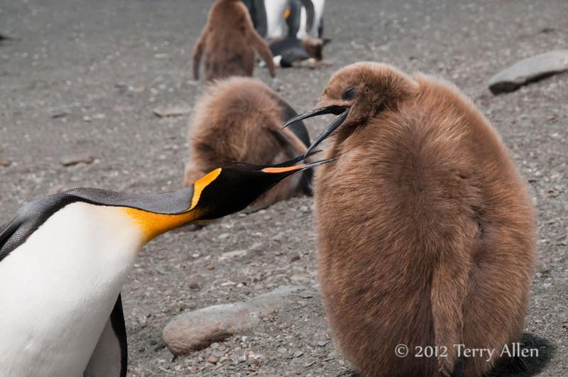 King-penguin-&-oakum-boy,-Gold Harbour,-South-Georgia-Island