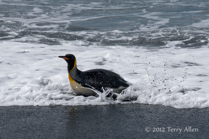 King-penguin-in-surf-5,-Gold Harbour,-South-Georgia-Island