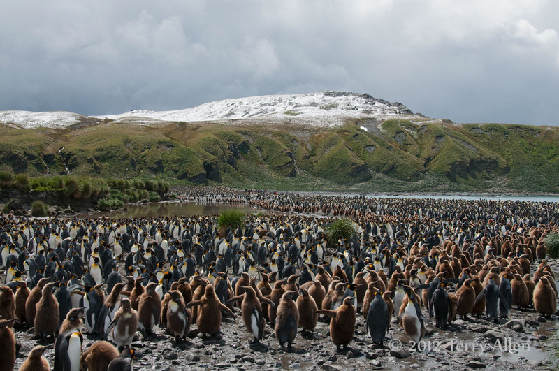King-penguin-colony-2,-Gold Harbour,-South-Georgia-Island