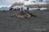 Elephant-seal-spraying-sand,-Gold Harbour,-South-Georgia-Island