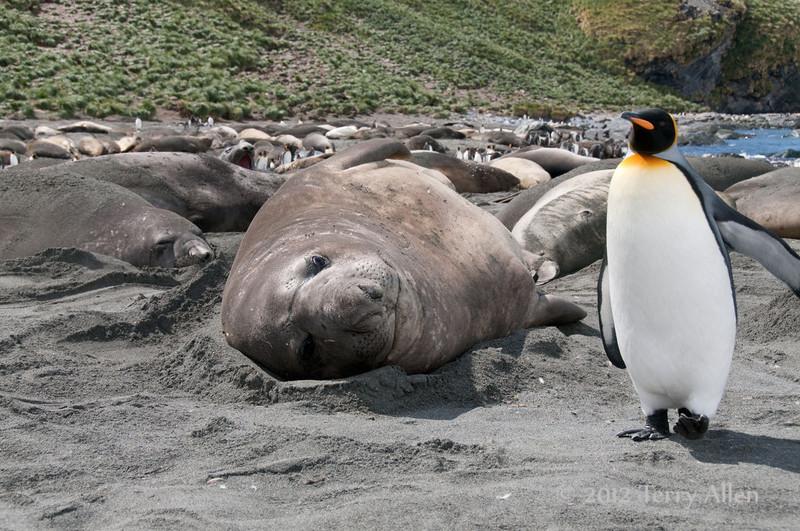 Elephant-seal-&-king-penguin,-Gold Harbour,-South-Georgia-Island