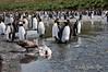 Skua-feeding-on-king-penguin,-Gold Harbour,-South-Georgia-Island