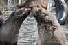 Fur-seals-'kissing',-Gold Harbour,-South-Georgia-Island