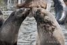 Fur-seals-'kissing',-Gold Harbour,-South-Georgia-Island