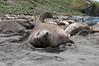 Elephant-seals,-Gold Harbour,-South-Georgia-Island