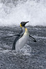 King-penguin-in-surf-3,-Gold Harbour,-South-Georgia-Island
