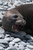 Fur-seal-on-beach-rocks,-Gold Harbour,-South-Georgia-Island