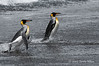King-penguins-exiting-surf,-Gold Harbour,-South-Georgia-Island