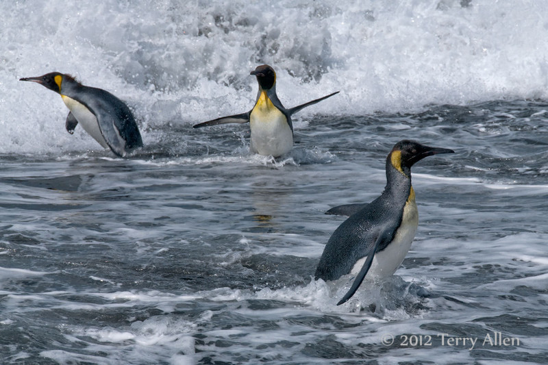 King-penguins-in-surf-3,-Gold Harbour,-South-Georgia-Island